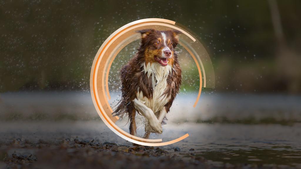 Australian Shepherd dog runs in a river